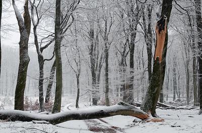 2008 11 23 Beuken sneeuw 018