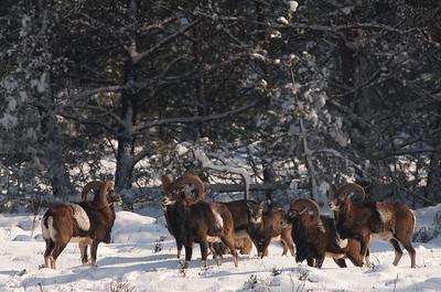2006 03 02 Moeflon sneeuw noorderhei 013