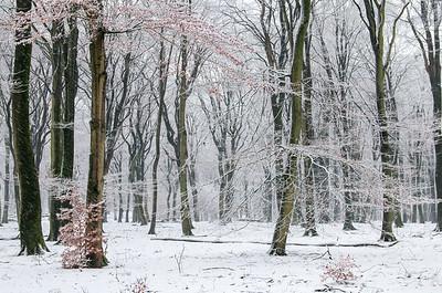 2008 11 23 Beuken sneeuw 001