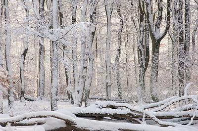 2006 03 02 Beuken gortel sneeuw   020
