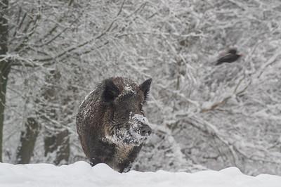 2005 mrt 03 zwijn sneeuw natuurpark  012
