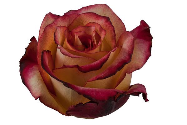 Fleurametz Rose export company, Ecuador