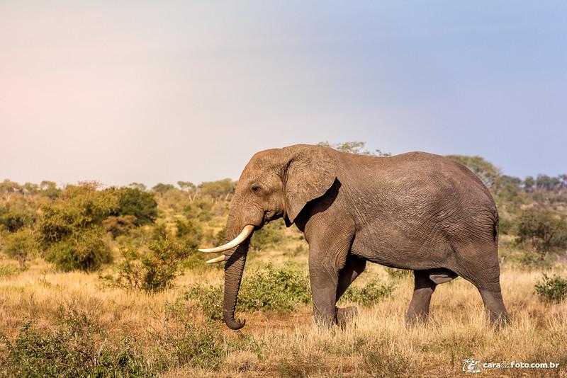 Elefante Livre Na Savana Africana
