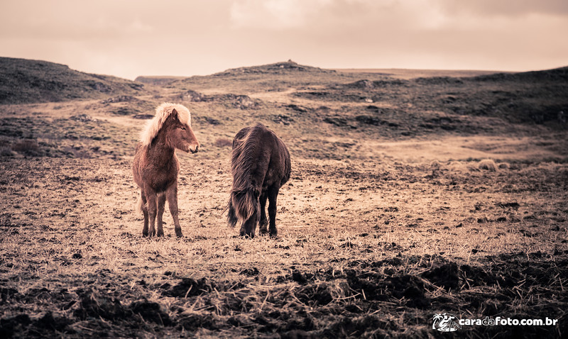 Os Estilosos Cavalos Da Islândia