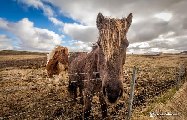 Um dos (poucos) animais que sobrevivem na Islândia é o cavalo. Eles têm muitos cavalos por lá, realmente.  Todo fotógrafo que se preze, quando vai pra lá, precisa capturar esses quadrúpedes de topete hehehe  A raça de cavalos que eles mais têm lá é um pouco diferente, como você pode ver na foto. Alguns mais estilos do que outros, no caso, os da foto não são lá tão bem aprumados heheh  Na ocasião, estávamos eu e meu irmão Ricardo dirigindo e ao passar por uma fazenda, vimos que vários cavalos estavam pastando bem perto da cerca. Oportunidade bacana pra tentar tirar uma foto!  Para ver mais sobre essa foto, acesse: http://caradafoto.com.br/hey-voce-que-que-ta-pegando/