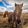 """Um dos (poucos) animais que sobrevivem na Islândia é o cavalo. Eles têm muitos cavalos por lá, realmente.<br /> <br /> Todo fotógrafo que se preze, quando vai pra lá, precisa capturar esses quadrúpedes de topete hehehe<br /> <br /> A raça de cavalos que eles mais têm lá é um pouco diferente, como você pode ver na foto. Alguns mais estilos do que outros, no caso, os da foto não são lá tão bem aprumados heheh<br /> <br /> Na ocasião, estávamos eu e meu irmão Ricardo dirigindo e ao passar por uma fazenda, vimos que vários cavalos estavam pastando bem perto da cerca. Oportunidade bacana pra tentar tirar uma foto!<br /> <br /> Para ver mais sobre essa foto, acesse: <a href=""""http://caradafoto.com.br/hey-voce-que-que-ta-pegando/"""">http://caradafoto.com.br/hey-voce-que-que-ta-pegando/</a>"""