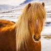 Retrato De Um Cavalo Islandês