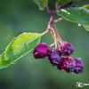 Huckleberries?!