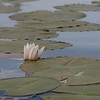 Weiße Seerose (untere Lobau)