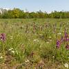 Orchideenwiese (Obere Lobau)