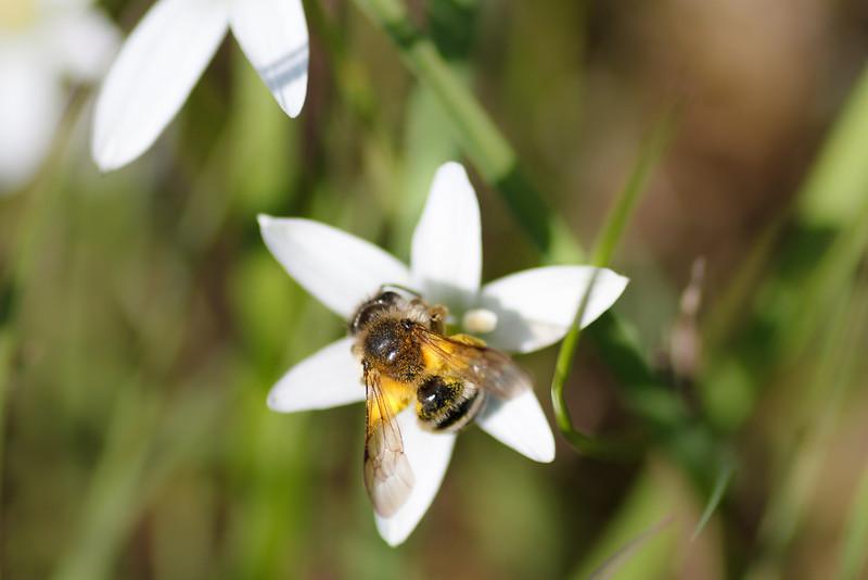 Wild Biene(?) auf Dolden-Milchstern (Obere Lobau)