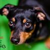 Egbert - Dachshund / Beagle mix