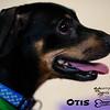 Otis - Dachshund / Beagle mix