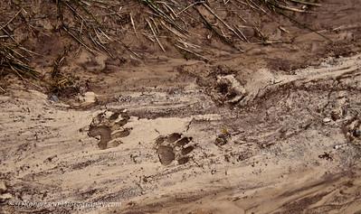 'coon Tracks