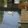 Swans on the Canals of Strasbourg, France, October 24, 2003