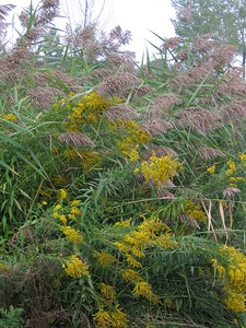 Grass and Goldenrod