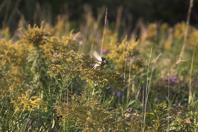 Goldfinch (Fall Plumage)