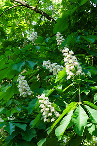 Chestnut Blossoms