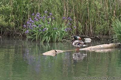 Irises and Mallard