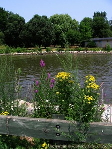 Tansy, Loosestrife and Etobicoke Creek