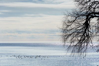 Winter Waterfowl, Lake Ontario