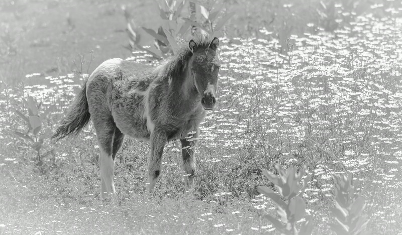 foal black and white