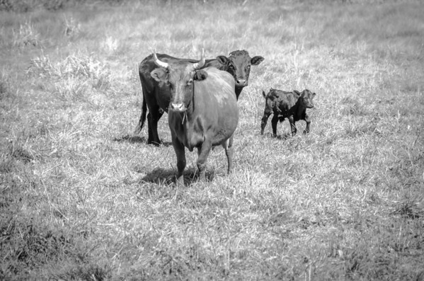 family black and white