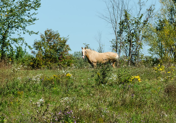 Palomino in wildflower field
