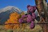 Princeton Bear