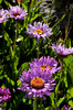 Cozy warm asters at high altitude