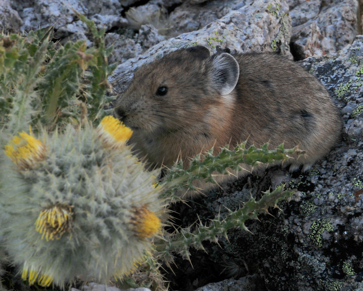 Pika munching on a thistle