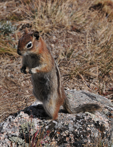 La Plata Squirrel
