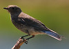 Mountain Bluebird