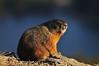 Marmot above Echo Lake