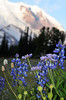 bistort, lupine and asters