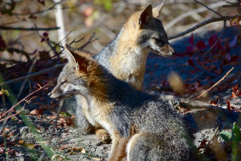 Fox Facsimile
