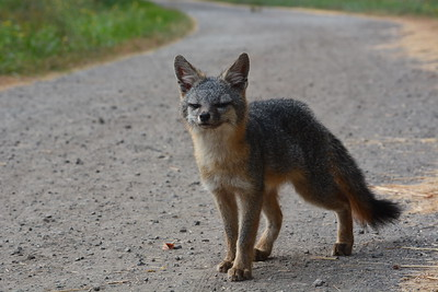 Sly Fox