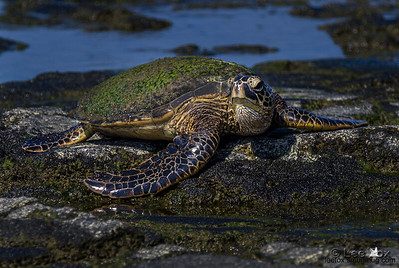 Green Sea Turtle_LGF9169-2