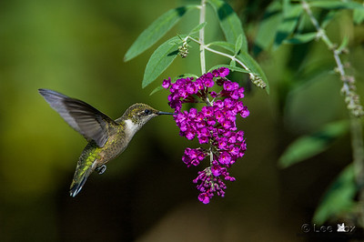 Ruby throated hummingbird _0022-2