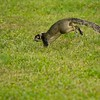 I saw this Fox Squirrel frolicking in the back field with a small young brown Fox Squirrel, possibly her offspring.