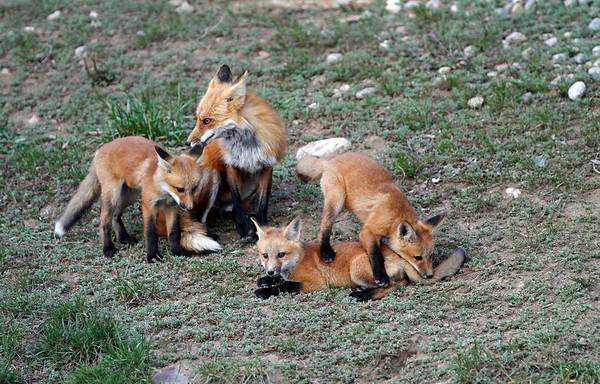 http://www.wildlifenaturephotos.com/Fox/Red-Fox/i-cFH9XVD/0/M/IMG_6119-M.jpg