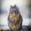 Western Gray Squirrel.