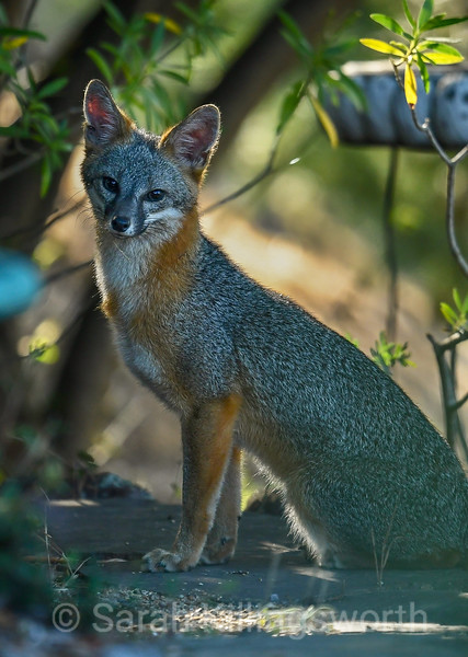 neighborhood fox
