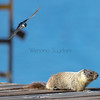 Tree Swallow makes a move on this Marmot, away from my nest please!