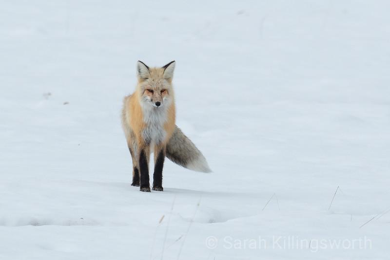 midday fox