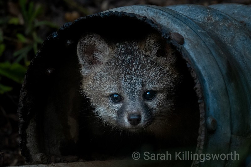 a young fox kit looks at the world outside the den