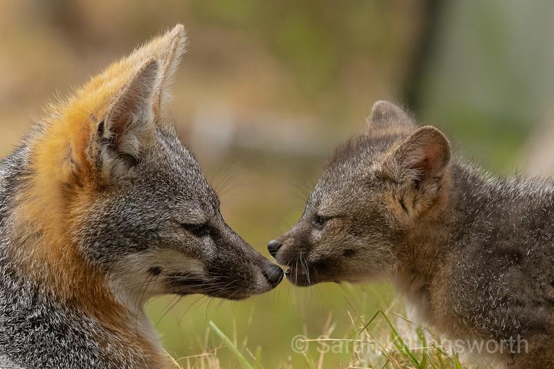 fox conversation