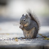 Western Washington Gray Squirrel.