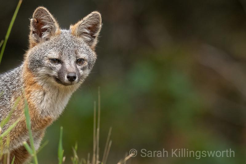 mama fox peeks out, ready to hunt
