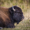 Napping Bison